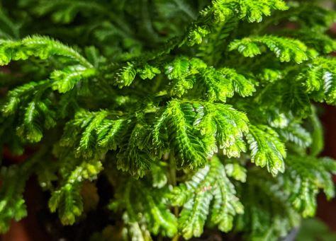 Green Frosty Fern