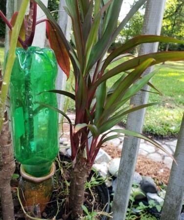 Hawaiian Ti Cuttings Parent Plant New Growth