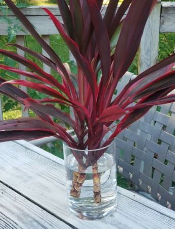 How To Propagate Hawaiian Ti Plants Cordylines From Cuttings