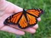 Monarch Butterfly 1439977045dy1