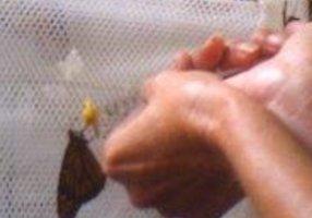 Monarch Butterfly Feeding