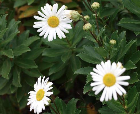 Montauk Nippon Daisy