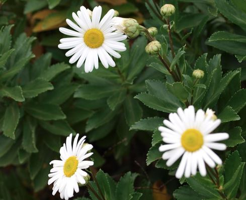 Pruning And Propagating Montauk Daisies Using Cuttings