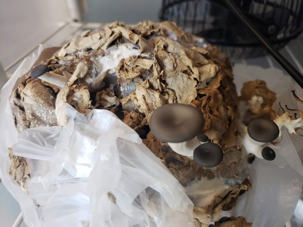 Mushroom Cardboard Experiments Fruiting