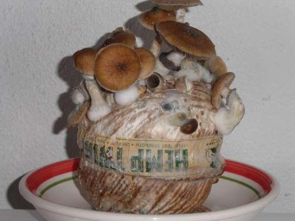 Mushrooms growing in hemp twine