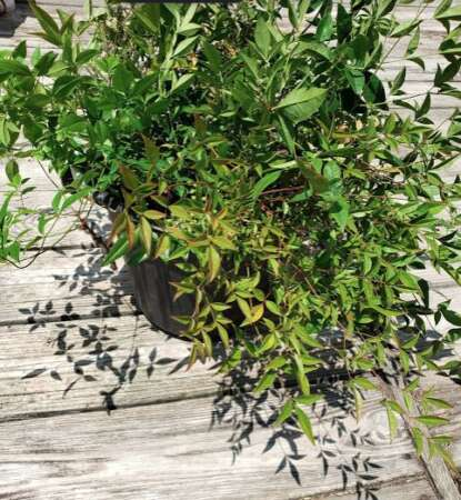 Nandina Propogation Cuttings In Water