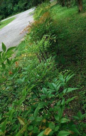 Pruning and Propagating Nandina (Heavenly Bamboo)
