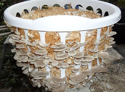 Oyster Mushrooms Growing In Laundry Basket