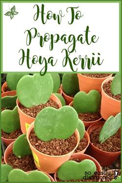 Pinterest Hoya Kerrii Propagation