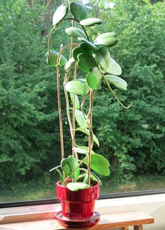 Caring For And Propagating Hoya Kerrii