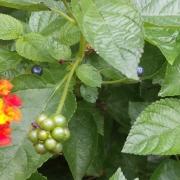 Harvesting Lantana Seeds