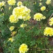 Harvesting Marigold Seeds