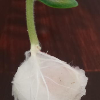 Sprouting Seeds Cottonball Roots